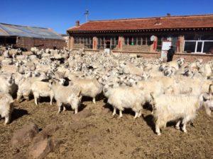 内モンゴルのカシミヤ山羊の牧場